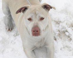 Emerald Labrador Retriever/Pit Bull Terrier