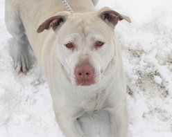 Emerald Labrador Retriever/Pit Bull Terrier
