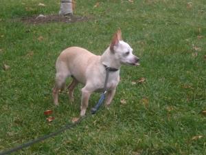 Missy Chihuahua, 2