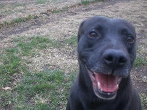 Scratch Labrador Retriever, 2
