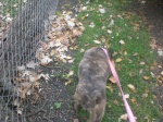 Felicia Pit Bull Terrier