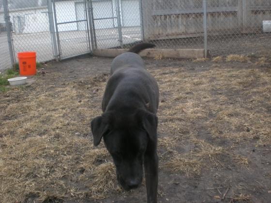 Chewy Black Labrador Retriever 2