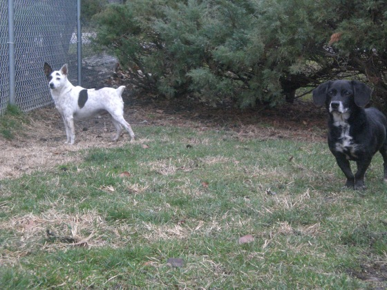 Izzy Dachshund and Duvall Jack Russell Terrier Australian Cattle Dog