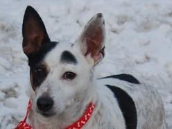 Duvall Jack Russell Terrier Australian Cattle Dog