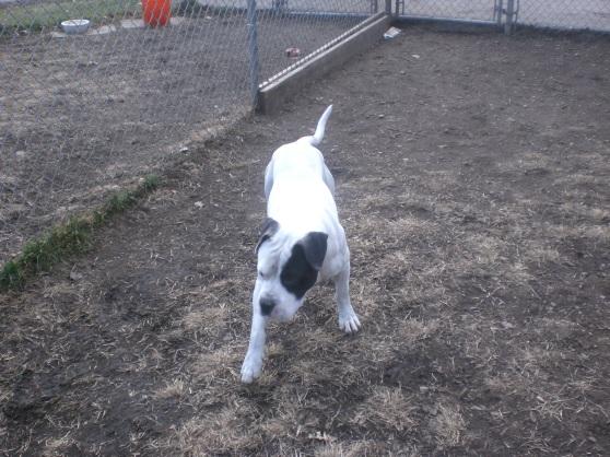 Tyson Pit Bull Terrier 1