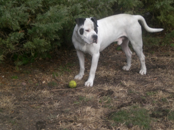Tyson Pit Bull Terrier 3