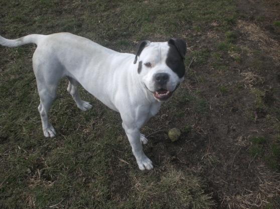 Tyson Pit Bull Terrier 2