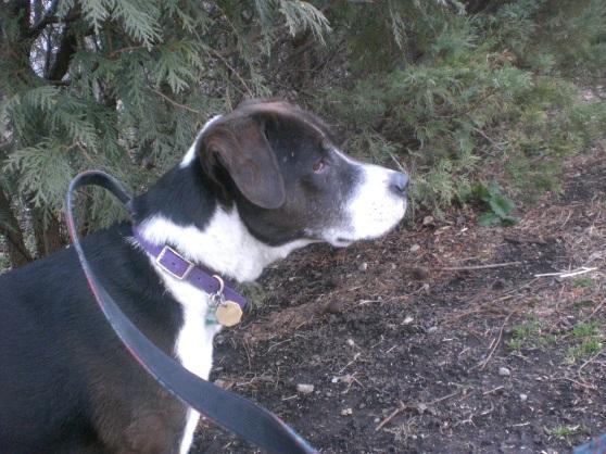Bandit Labrador Retriever 2