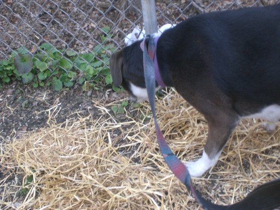 Bandit Labrador Retriever 3