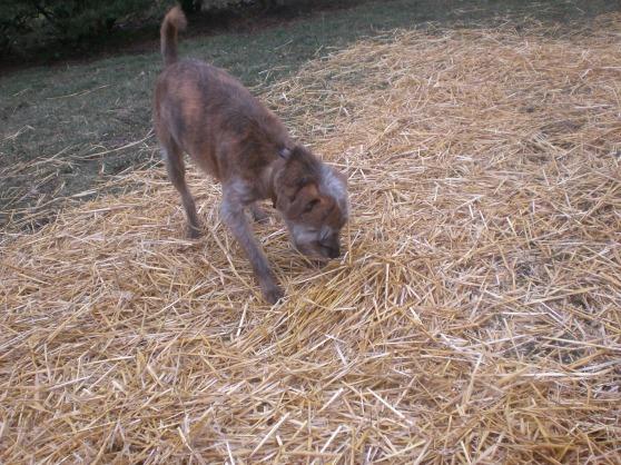 Horatio Italian Greyhound Terrier 1