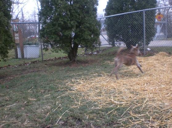 Horatio Italian Greyhound Terrier 3