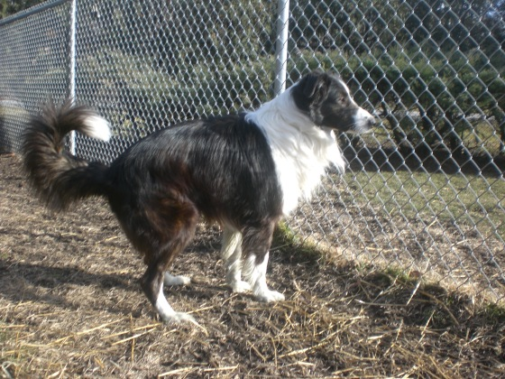 Bear Border Collie 1