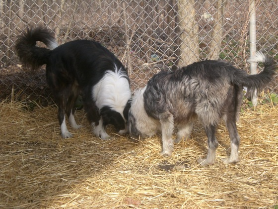 Bear and Coco Border Collies