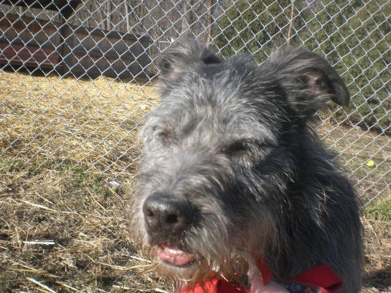 Bobo Wired Hair Terrier 2