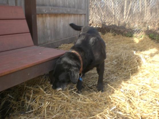 Rosemary Labrador Retriever 2