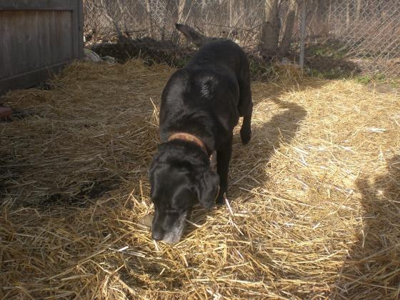 Rosemary Labrador Retriever 3