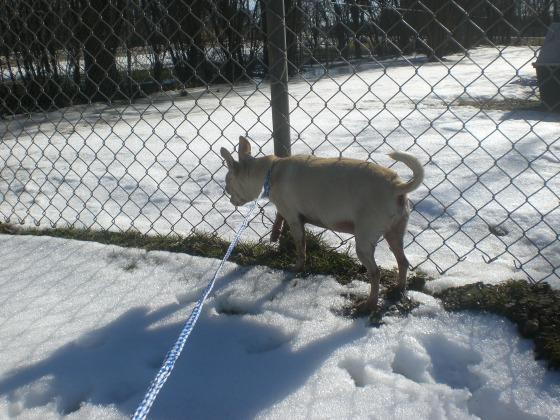 Tino Chihuahua 3