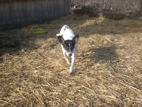 Dumbo Terrier 3