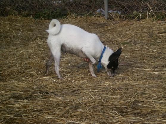 Dumbo Terrier 2