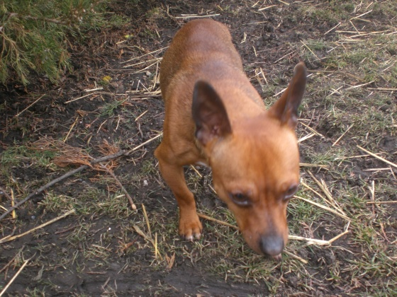 Marty Chihuahua 3