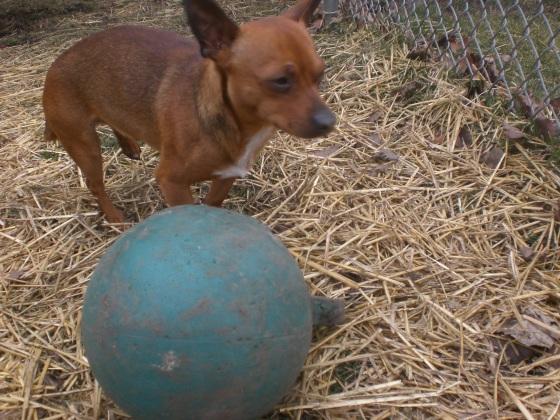 Marty Chihuahua 1