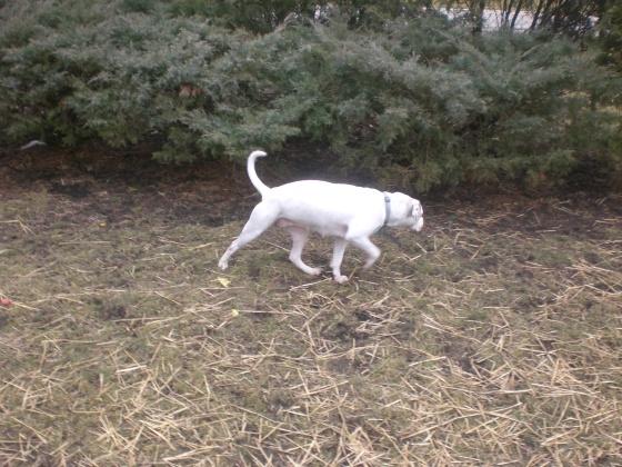 Precious Pit Bull Terrier 2
