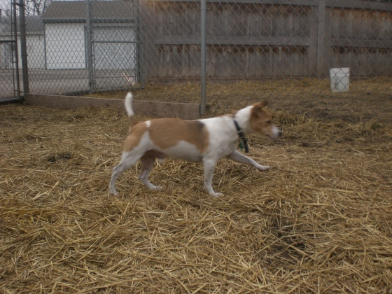 Tino Jack Russell Terrier 2