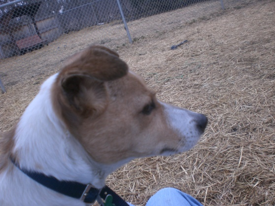 Tino Jack Russell Terrier 1