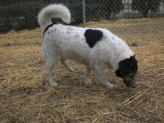Rizzo Shepherd 1