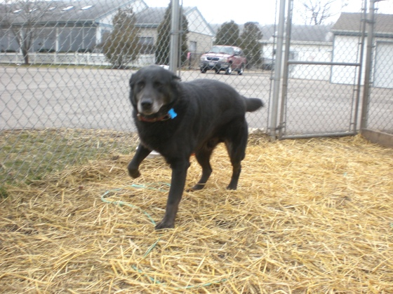 Sampson Black Labrador Retriever 1