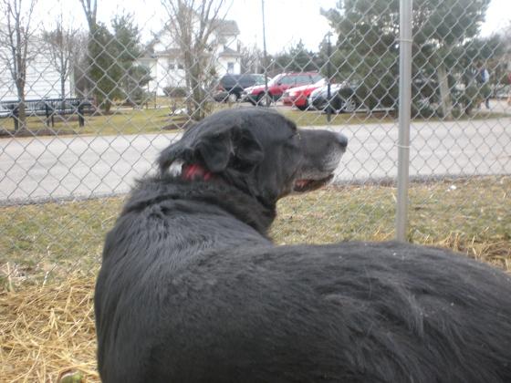 Sampson Black Labrador Retriever 2
