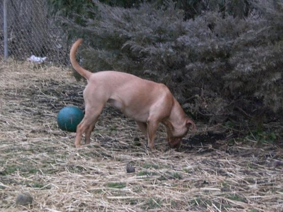 Chili Labrador Retriever 1