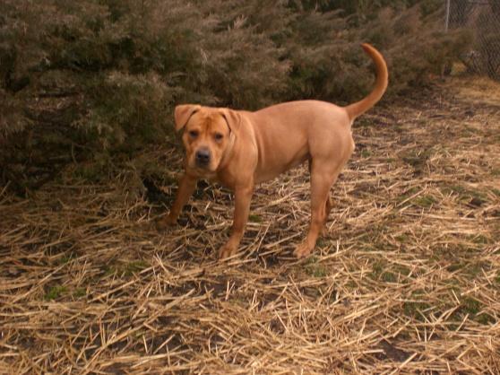 Chili Labrador Retriever 2