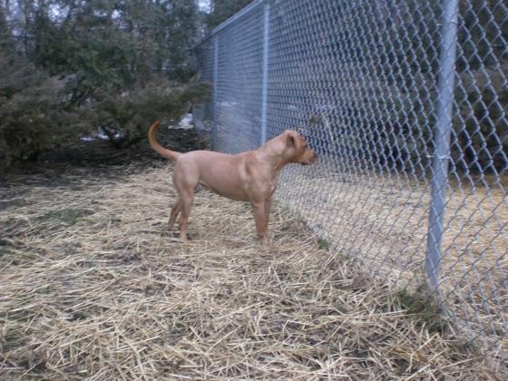 Chili Labrador Retriever 3