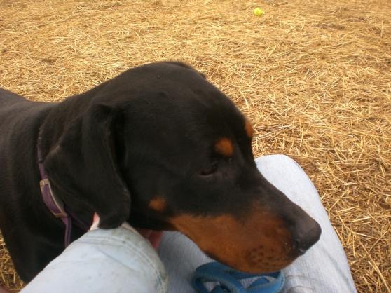 Firefly Rottweiler 1
