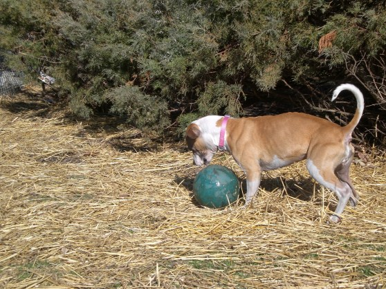 Bella Pit Bull Terrier 1