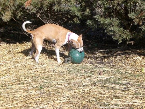 Bella Pit Bull Terrier 2