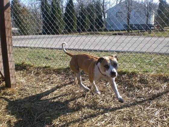 Bella Pit Bull Terrier 3