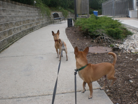 Mouse and Cocoa Chihuahuas 2