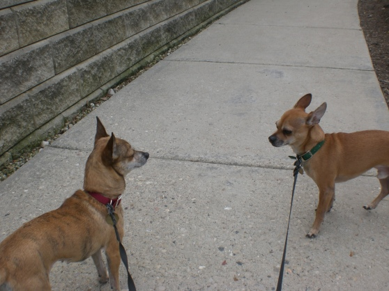 Mouse and Cocoa Chihuahuas 3