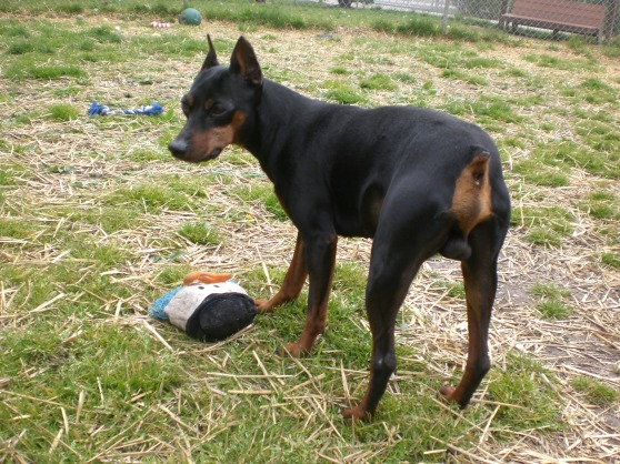 DooDah Miniature Pinscher 1