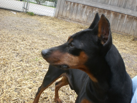 DooDah Miniature Pinscher 2