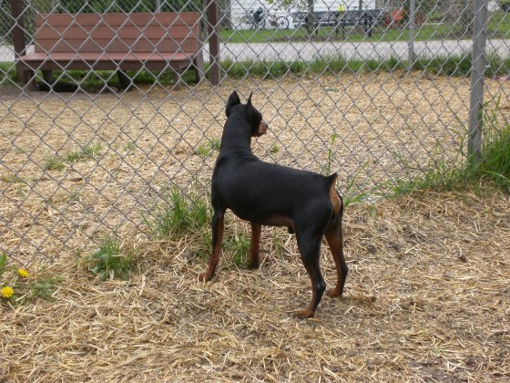 DooDah Miniature Pinscher 3