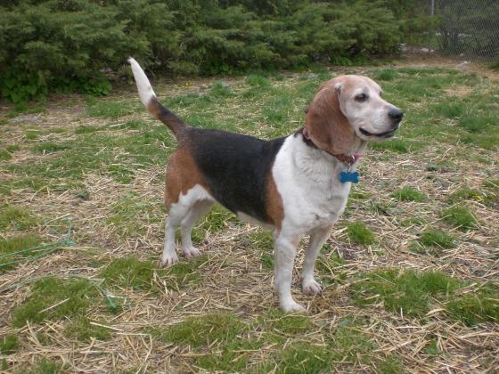 Chloe Beagle 2