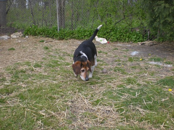 Boomer Beagle 1
