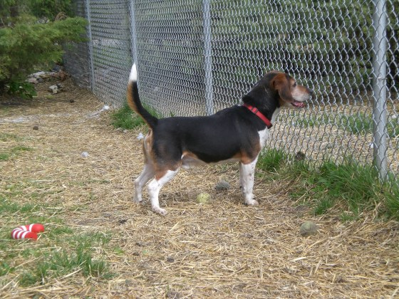 Boomer Beagle 3