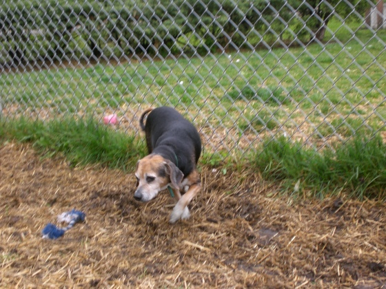 Whoopi Beagle 1