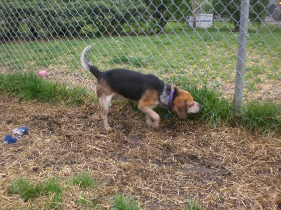 Mack Beagle 1