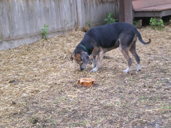 Whoopi Beagle 3