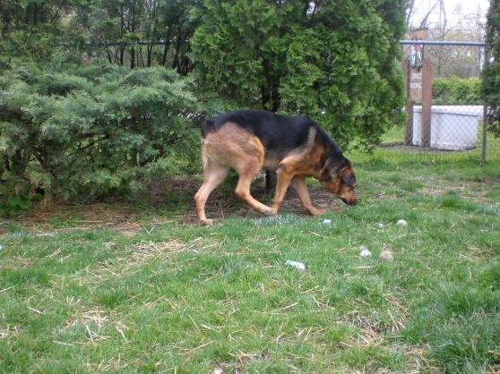 Kopa German Shepherd 1